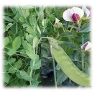 Austrian Winter Pea - Annual