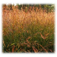 Big Bluestem Seeds