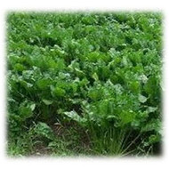 Bonar Forage Rape Seeds