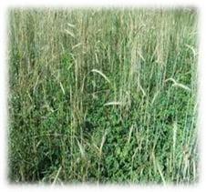 winter grain rye seeds - Winter Rye