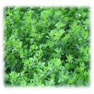 GA 378 Wetland Alfalfa - Perennial