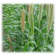 Hybrid Pearl Millet - Annual
