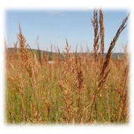 Indiangrass Perennial Seeds | Wildlife Food Plot Store in Ohio