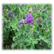 Merit Gold Alfalfa - Perennial