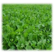 Pasja Hybrid Forage Annual - Wildlife Food Plot | Merit Seed in Ohio