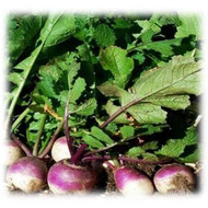 Purple Top Turnip annual | Merit Seed in Ohio