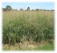 Switchgrass Seeds a perennial grass