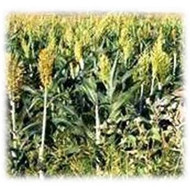 Wilder Grain Sorghum - Annual