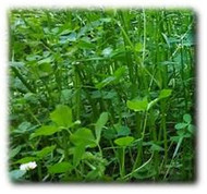 Annual Fixation Balansa Clover Seeds | Merit Seed in Ohio