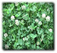 Perennial Patriot White Clover Seeds