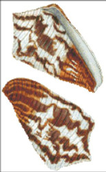 Sea Shell Pattern 807