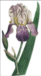 Elder Scented Iris