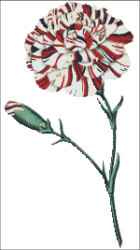 Franklin's Tartar Carnation