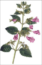 Greater Flower'd Balm