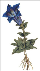 Large Flowered Gentian