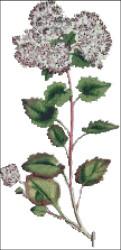 Poplar Leaved Stonecrop