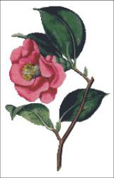 Rose Camella