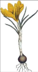 Spring Crotus