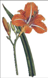 Tawny Day Lilly