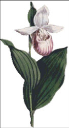 White Petal'd Ladies Slipper