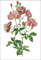 Rosa Chinensis Rose