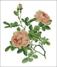 Rosa Alba Rose