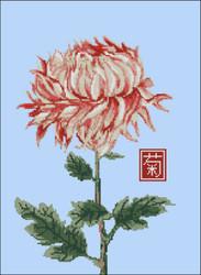 Japanese Chrysanthemum Red White