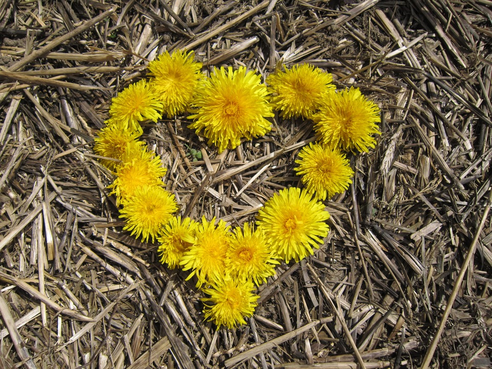heart made out of dandelions