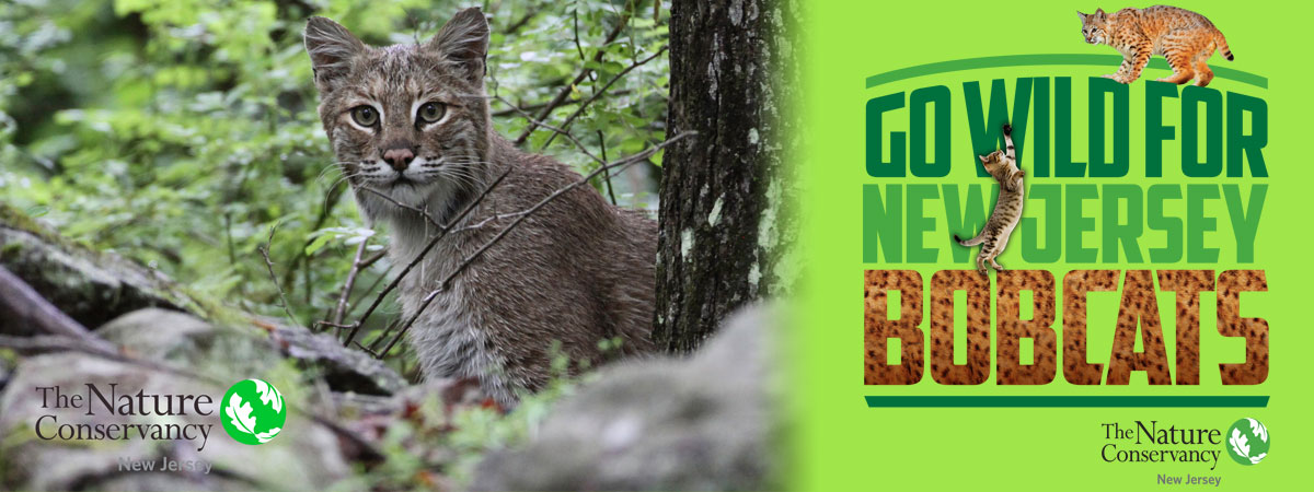 Go Wild for NJ Bobcats