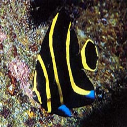 French Angelfish (Smal 11/2 -3 inchesl)