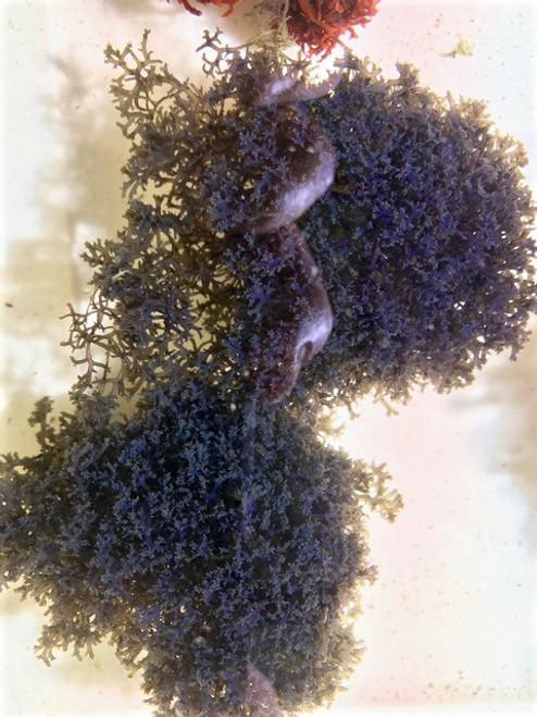 Hypnea Pannosa (Blue Hypnea)