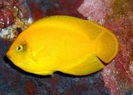 Yellow Pygmy (Heraldi) Angel-Vanuatu