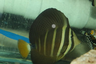 "Hawaiian Sailfin Tang-(6"")"