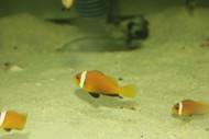 Black Foot (Nigripe) Clownfish