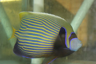 "Imperator Angelfish XL (8"")"