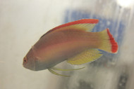 "Pink Margin Fairy Wrasse-4""   male"