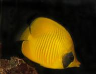 "Golden Butterflyfish | Chaetodon Semilarvatus (2"")"