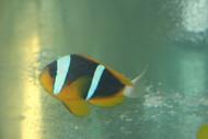 Allardi Clownfish