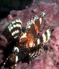 Fumanchu Lionfish