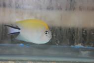 Swallowtail Angelfish (Female)