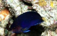 Blue Pygmy Angelfish