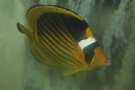 "Red Sea Raccoon Butterflyfish (Chaetodon fasciatus)-4"""