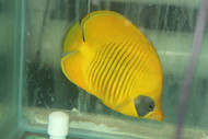Golden Butterflyfish | Chaetodon semilarvatus (Red Sea) 3-4""