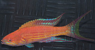 Royal (Angular) Flasher Wrasse-SUPER male