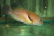 "Scarbreast Tuskfin | Choerodon azurio (6"")"