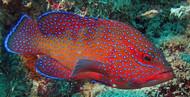 "West African Blue Dot Grouper | Cephalopholis taeniops-6"""
