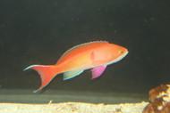 Mauritius Red Bar Anthias | Pseudanthias Cooperi (XL Male)