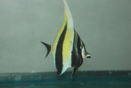 Moorish Idol-African