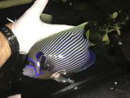 "Imperator Angelfish-adult 9-10"" streamer male"