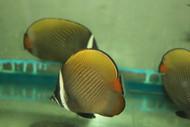 "Collare (Pakistani) Butterflyfish -5-6"""